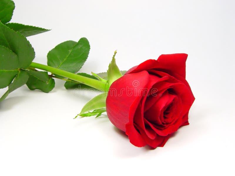 Elegant rose royalty free stock photo