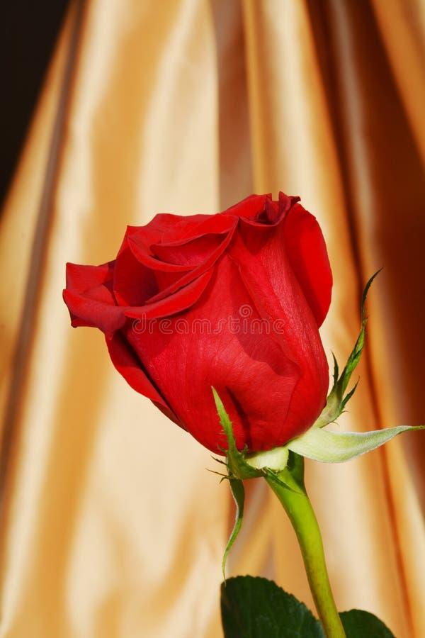 Elegant rose royalty free stock image