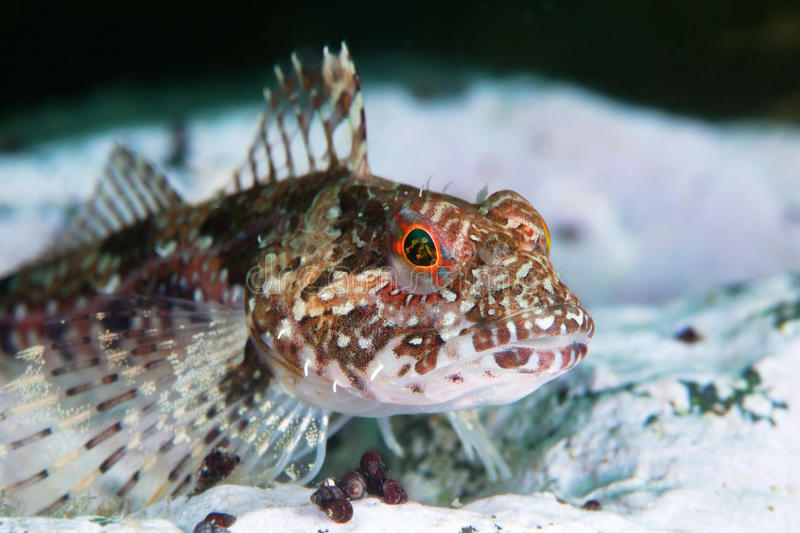 Elegant sculpin under water in sea of japan stock image