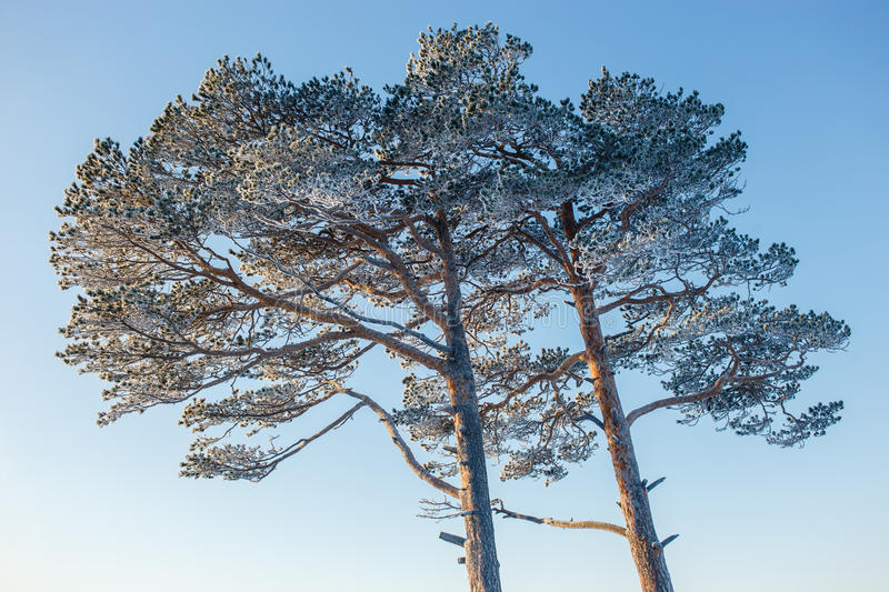 Elegant sprawling frozen pine in winter sunny frosty day.  stock images