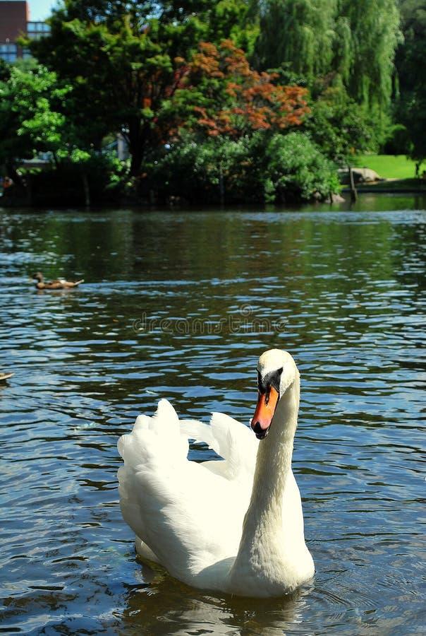 Elegant Swan royalty free stock photos