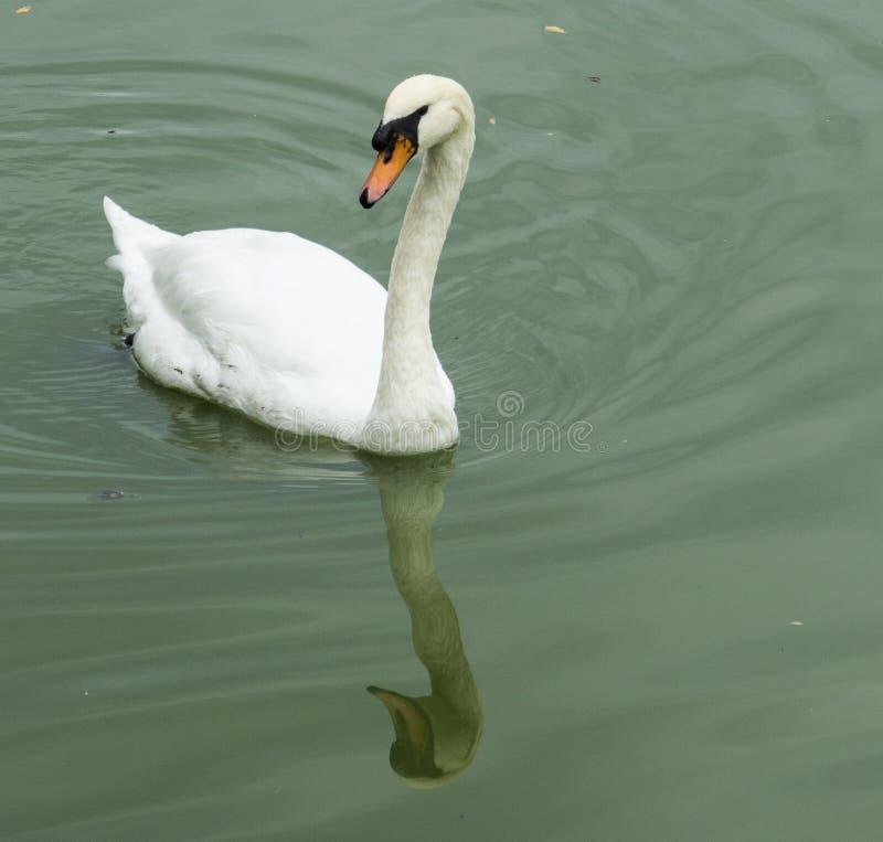 Download Elegant swan stock photo. Image of elegant, beak, orange - 34582704