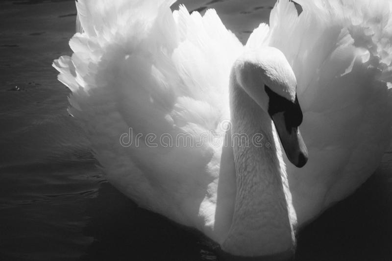 Elegant swan black and white. Single swan with beautiful wings closeup. Swan monochrome. Purity and love symbol. stock images