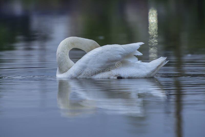 An elegant swan stock photo