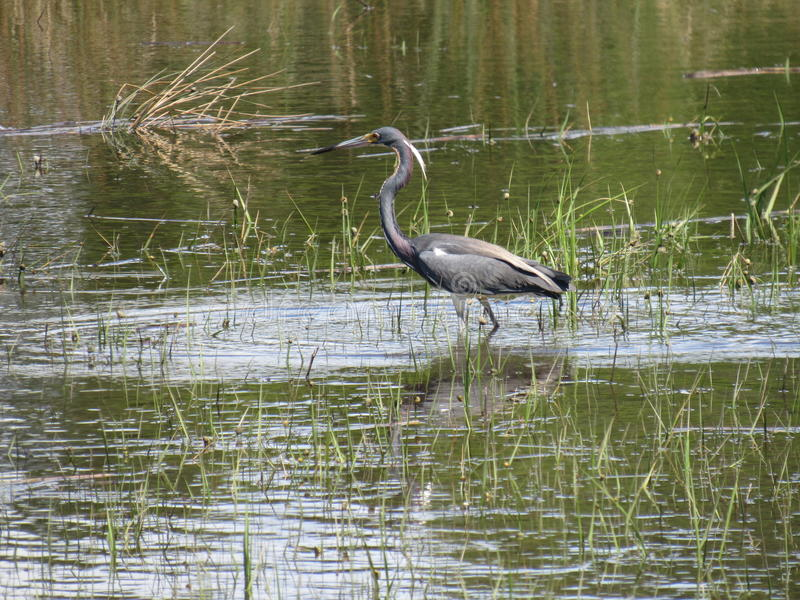 Elegant Tri Colored Heron Wading in grassy shallows stock photography