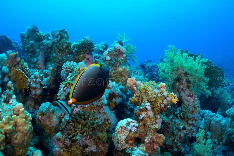 Download Elegant unicornfish stock photo. Image of beauty, saltwater - 21890432