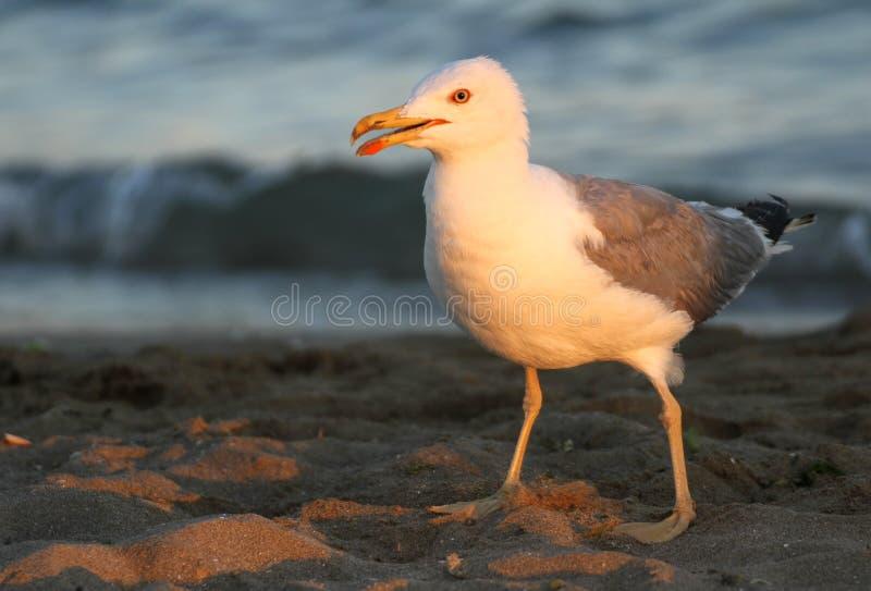 Elegant vit Seagull på kusten av stranden arkivbilder