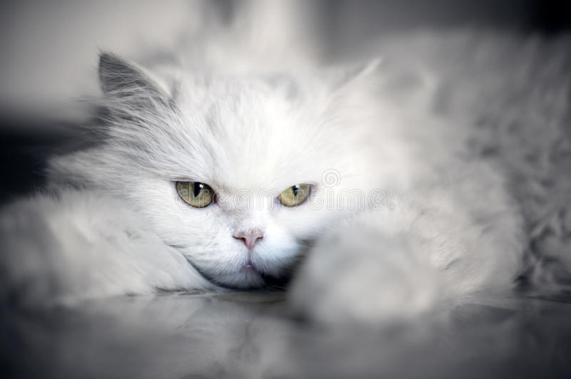 Elegant white cat stock image
