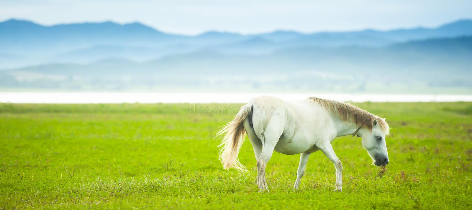 An elegant white horse walking in the green field in springtime stock photography