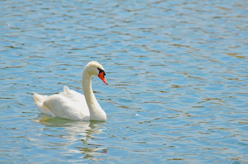 An elegant white mute swan floating on aquamarine pond. Closeup with room for copy of elegant white mute swan paddling on turquoise rippled water with bright royalty free stock images