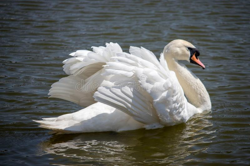 Elegant white swan swimming in pond. Romance and peace concept. Single swan with beautiful wings and white plumage. Elegant white swan swimming in pond. Purity royalty free stock photo