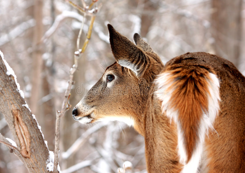 Elegant white-tailed deer. Perspective of a wild white-tailed deer from head to tail taken at Boucherville National Park, Quebec, Canada. Background shows trees stock photography