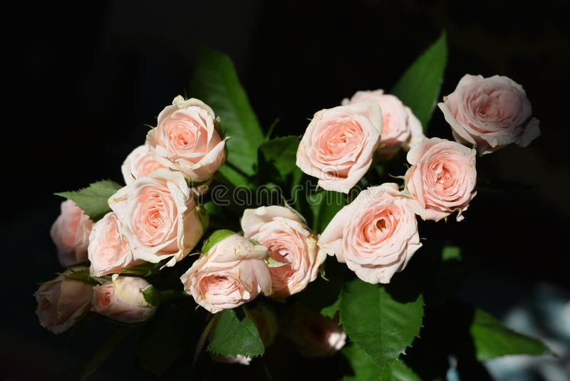 Elegant yellow pink small roses with green leaves, natural fresh chic rose pink cream color on black background. Beautiful flowers on a black background in the royalty free stock photography
