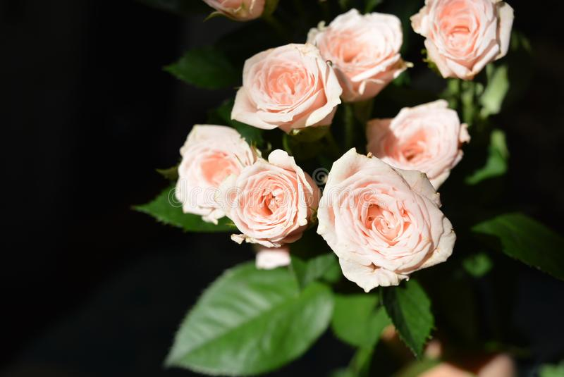 Elegant yellow pink small roses with green leaves, natural fresh chic rose pink cream color on black background. Beautiful flowers on a black background in the stock photography