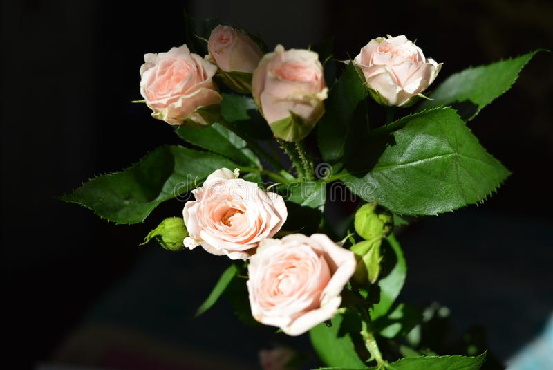 Elegant yellow pink small roses with green leaves, natural fresh chic rose pink cream color on black background. Beautiful flowers on a black background in the royalty free stock image