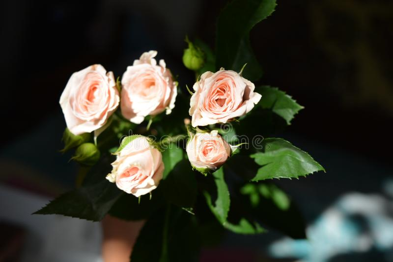 Elegant yellow pink small roses with green leaves, natural fresh chic rose pink cream color on black background. Beautiful flowers on a black background in the stock images