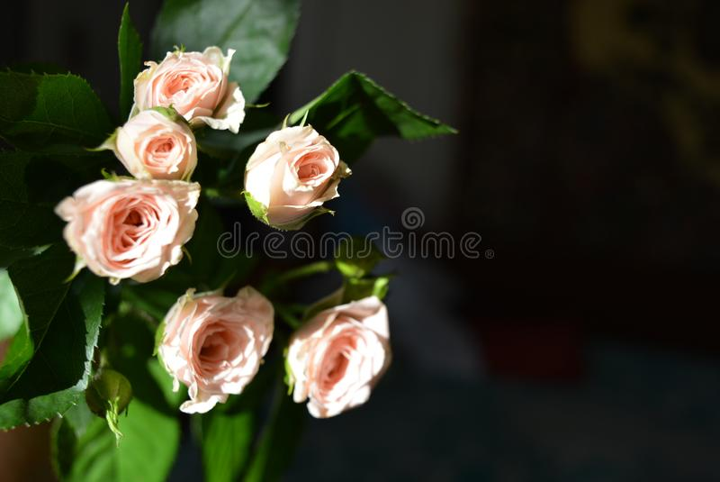 Elegant yellow pink small roses with green leaves, natural fresh chic rose pink cream color on black background. Beautiful flowers on a black background in the royalty free stock photo