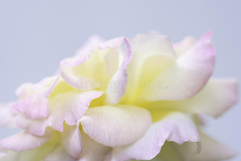 Elegant yellow rose with pink on petals. On light background royalty free stock photos