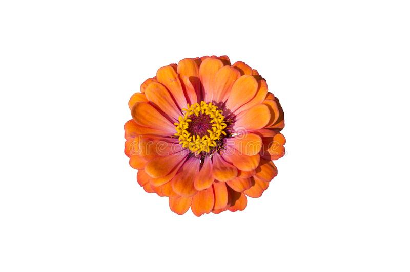 Elegant zinnia orange flower isolated on white.  stock photography