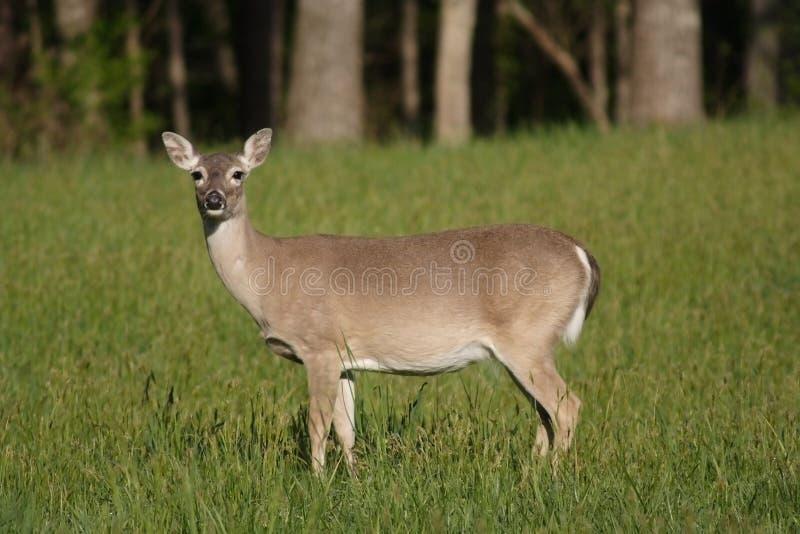 eleganta hjortar arkivfoton