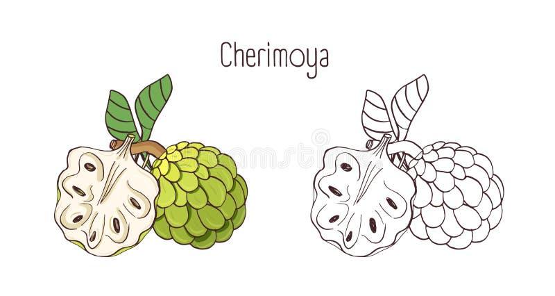 Eleganta kulöra och monokromma konturteckningar av cherimoya- eller vaniljsåsäpplet Helt och kluvet moget saftigt läckert stock illustrationer