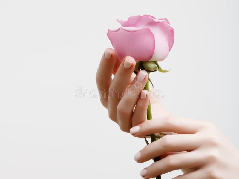 Eleganta kvinnliga händer med rosa manikyr på spikar Härliga fingrar som rymmer en ros royaltyfria foton