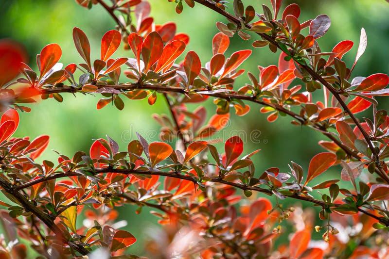 Elegante Berberitzenbeereberberis thunbergii Atropurpurea-Niederlassung vor dem hintergrund eines Gartens mit Evergreens stockfoto