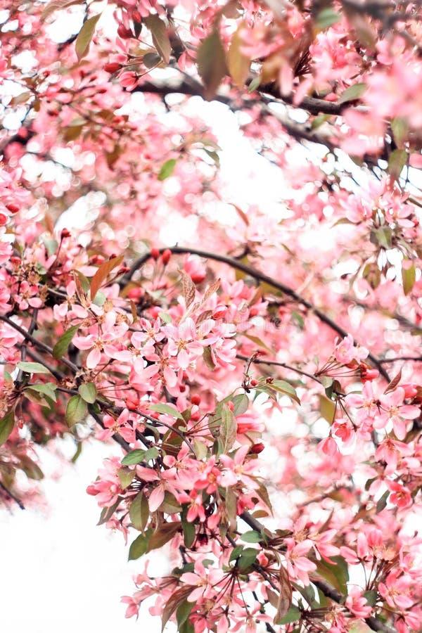 Elegante bloeiwijze van een roze sakuraboom stock afbeeldingen