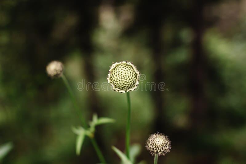 Elegante bloem Zinnia zonder bloemblaadjes op een groene bokeh royalty-vrije stock foto's