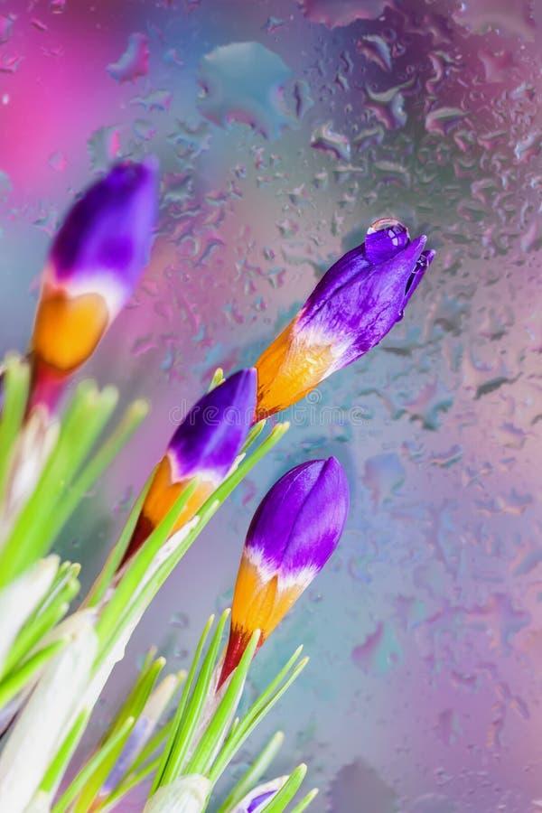 Elegante bloemen van Krokus achter het natte venster met realistische regendalingen Abstracte achtergrond, moderne halftinten stock foto