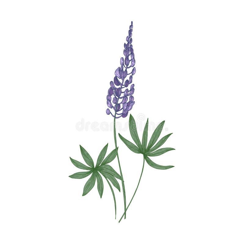 Elegante botanische tekening van de purpere bloemen van Lupine en groene die bladeren op witte achtergrond worden geïsoleerd Mooi vector illustratie