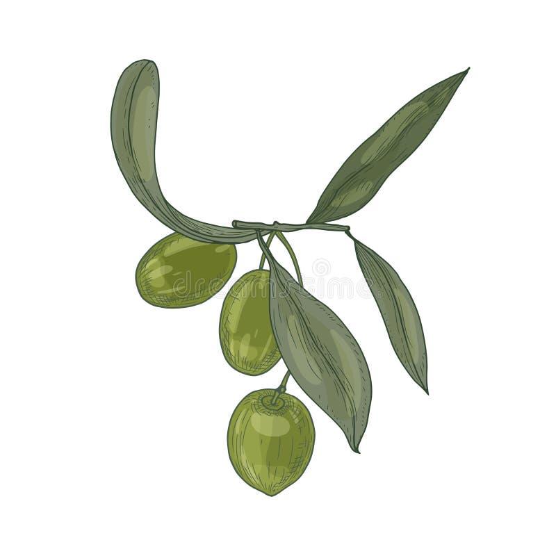 Elegante botanische tekening van olijfboomtak met bladeren en verse ruwe groene die vruchten of steenvruchten op wit worden geïso vector illustratie