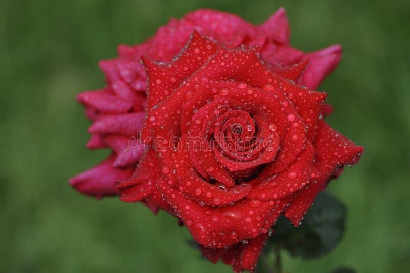 Elegante en bevallige rood nam met koude dauwdalingen toe stock afbeelding