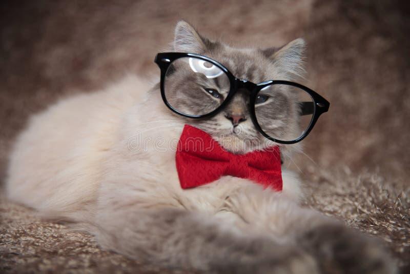 Elegante entzückende Katze trägt Gläser und rotes bowtie stockbilder