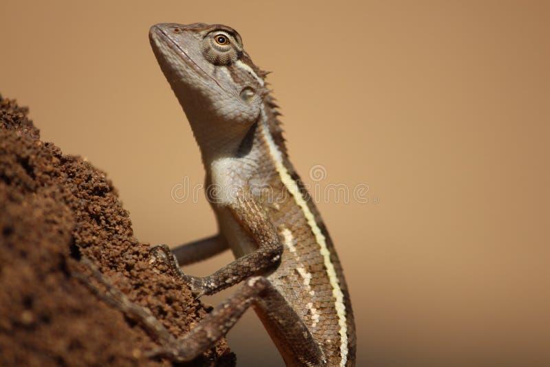 Elegante gekko stock fotografie