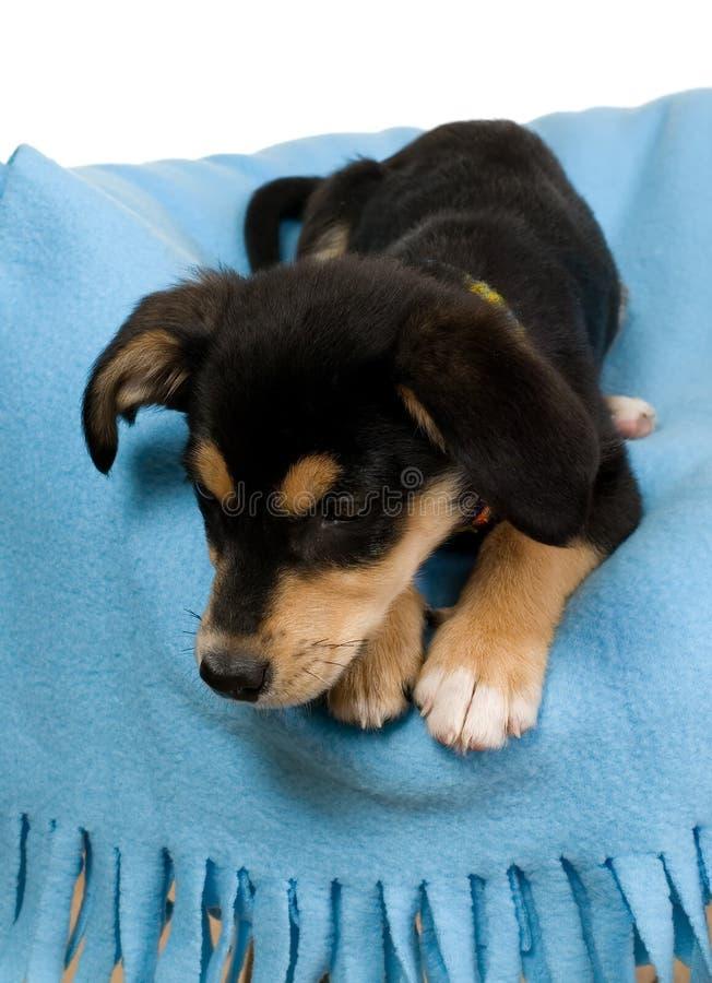 Download Elegante Hond Op Blauwe Omslag Stock Foto - Afbeelding bestaande uit jong, neus: 10782088