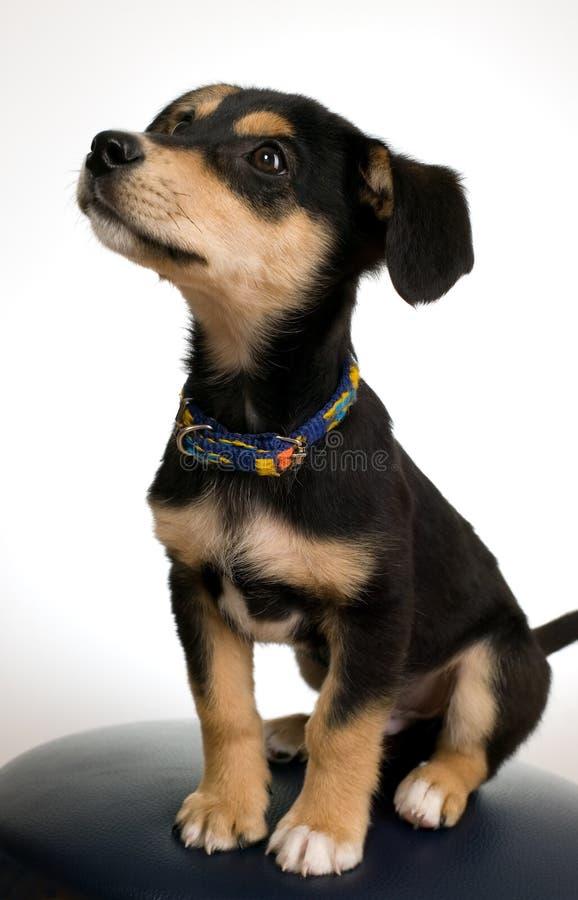 Download Elegante Hond Op Grijze Stoel Stock Foto - Afbeelding bestaande uit stoel, bruin: 10782092