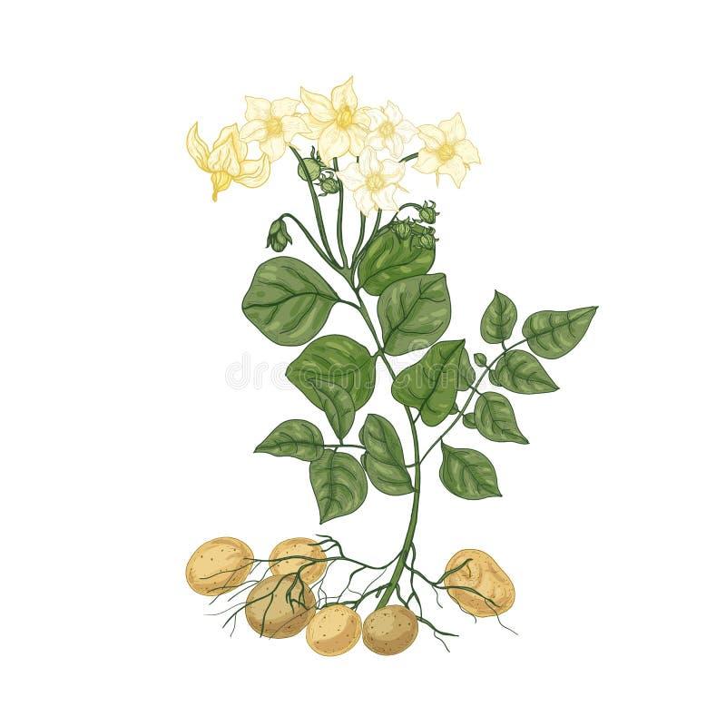 Elegante natuurlijke tekening van aardappelplant met bloemen, wortels en knollen Eetbaar gecultiveerd knolachtig geïsoleerd gewas vector illustratie