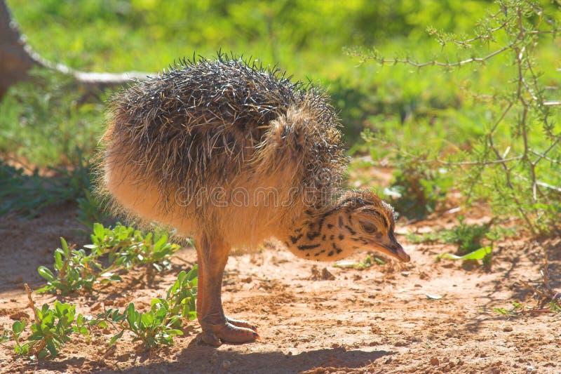 Elegante struisvogel royalty-vrije stock foto's