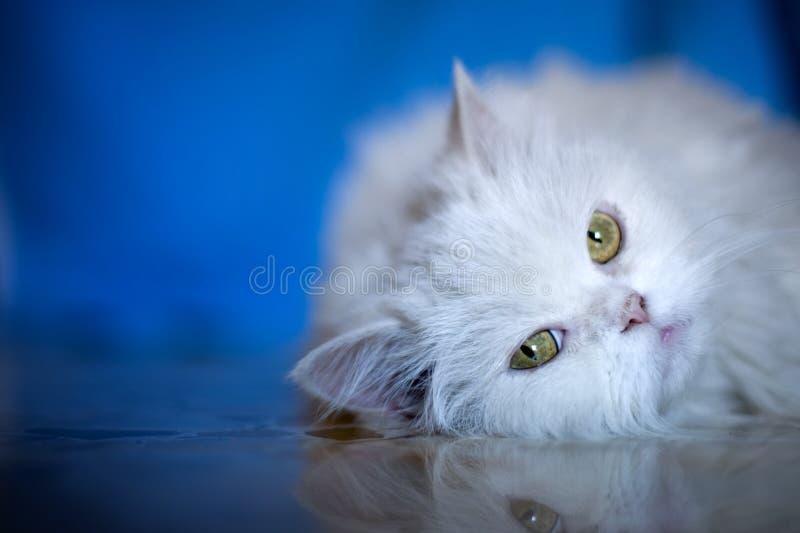 Elegante witte kat royalty-vrije stock fotografie