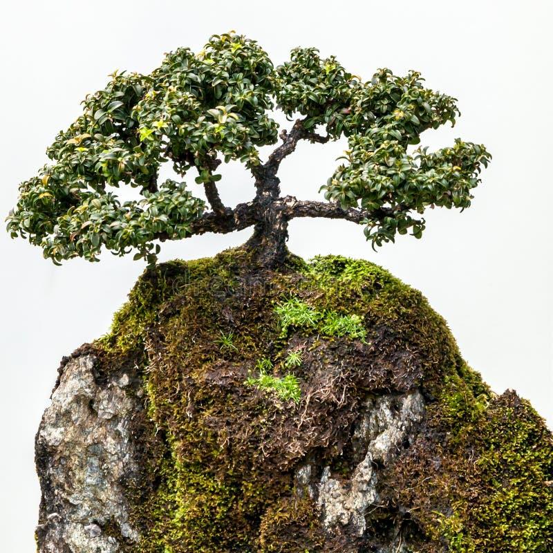 Eleganter Bonsai-Baum auf moosigem Felsen gegen weißen Hintergrund lizenzfreie stockfotos