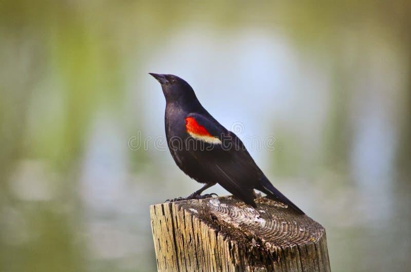 Eleganter Vogel lizenzfreie stockbilder