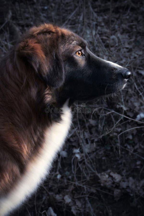 Elegantes Schutzhundeporträt im Profil, das auf seinem Job fokussing ist lizenzfreies stockfoto