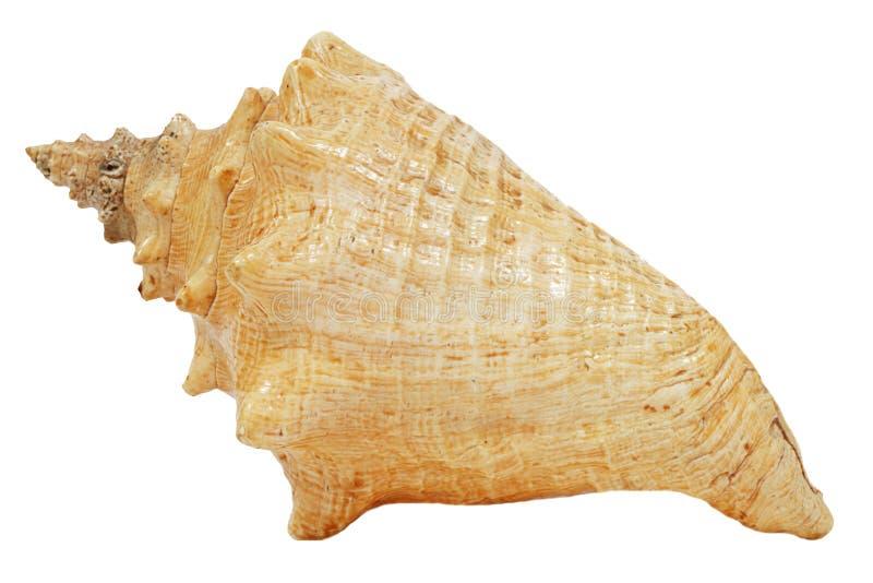 elegantt stort havsskal arkivfoton
