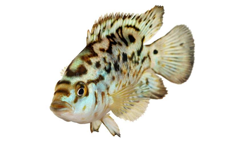 Elektrische Aquariumfische blaue Steckfassung dempsey Cichlid Nandopsis Octofasciatum lizenzfreie stockbilder