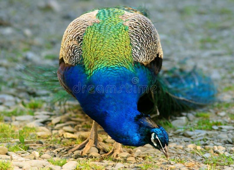 Elektrische Blauwe Pauw royalty-vrije stock afbeelding