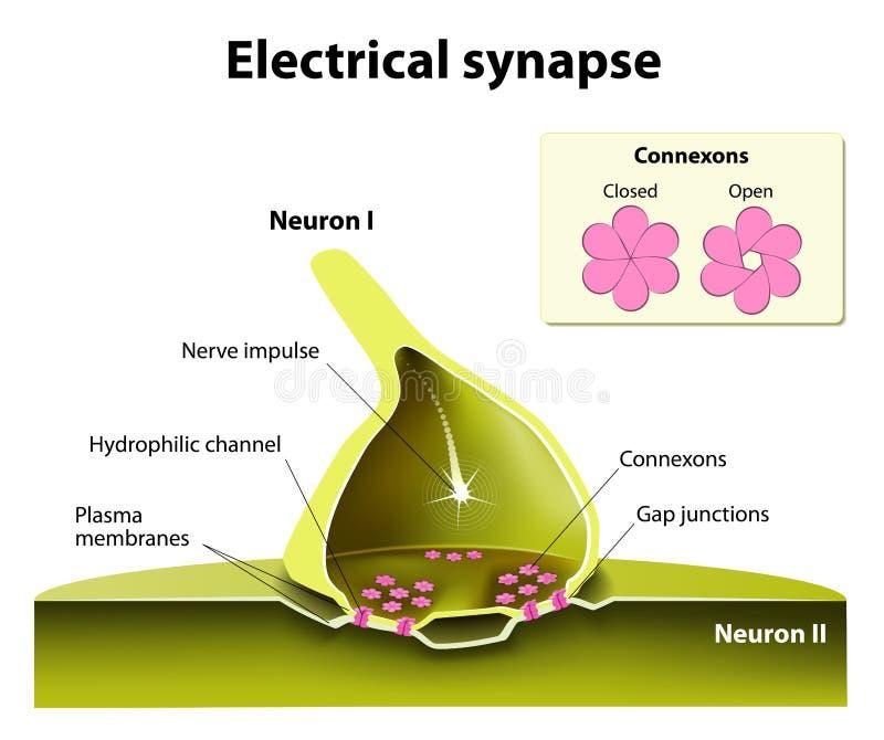Elektrische Synapsen vektor abbildung. Illustration von axon - 51034966
