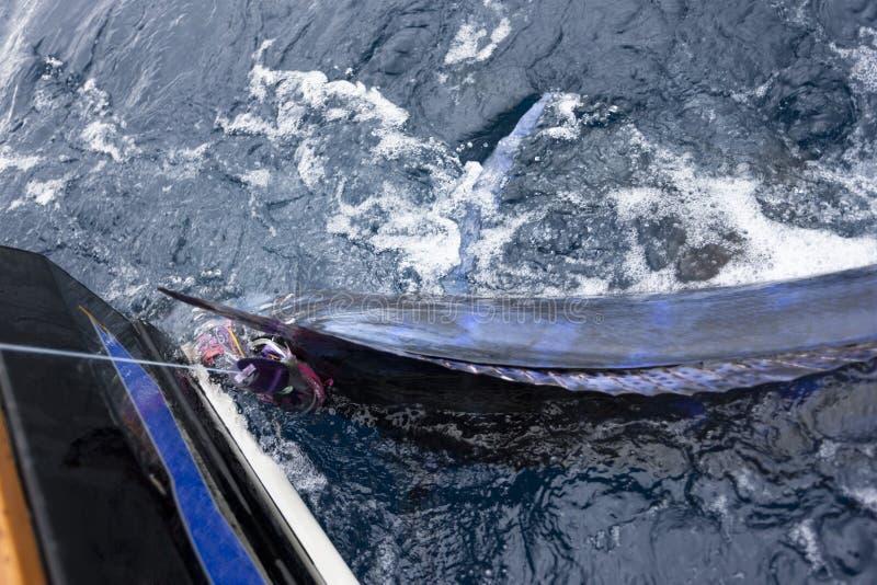 Elektrisk blå marlin som fångas arkivfoto