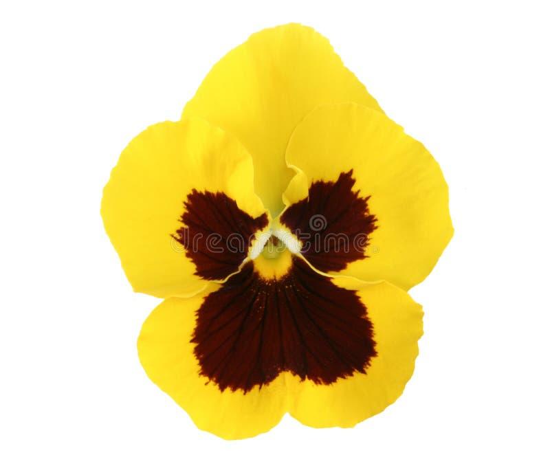 Elementi di disegno: Pansy giallo fotografia stock libera da diritti