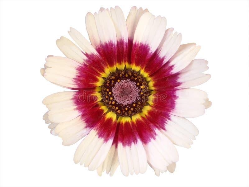 Elementi di disegno: Testa di fiore variopinta fotografia stock libera da diritti